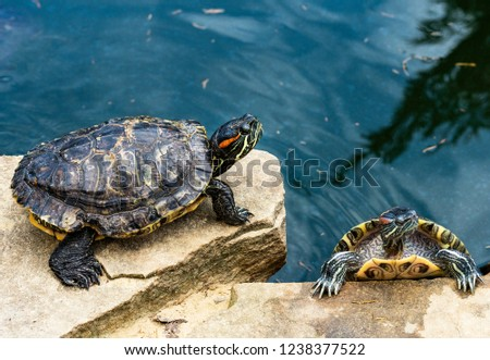 Two turtles by the pond. Amphibious animals with a shell near the water. Fun animal image