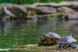Two turtles on a rock near a lake with a blurred background