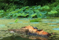 Two turtles sunbathing on a log in the middle of a lake.  They are surrounded by lily pads and algae.