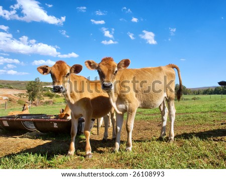 Two twin calves look into camera. Shot near Bonnievale, Western Cape, South Africa.