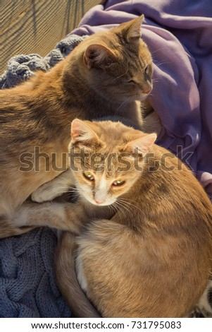 Two twin ginger cats laying on a blanket. #731795083