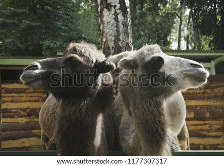 two two-humped camel in an enclosure in a city park #1177307317