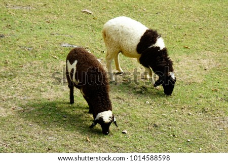 Two two-toned color sheeps are eating grass #1014588598
