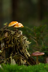 Two types of mushrooms on and next to a tree stump, two Sulphur Tufts and a brown mushroom