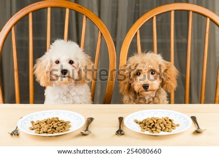 Two uninterested poodle puppies with their plate of kibbles on the dining table