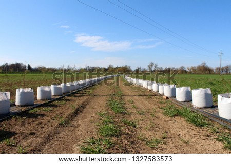 Two very long rows of small trees planted in large white bags ready for planting in field put on nylon protection next to pipes for watering on dry days surrounded with grass and cloudy blue sky
