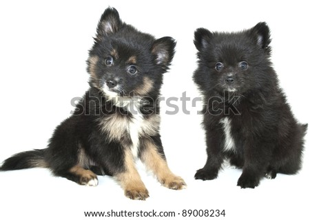 Two very sweet Pom puppies sitting on a white background.