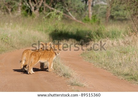 Two very young lion cubs standing in a dirt track in the Serengeti National Park, Tanzania