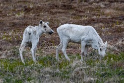 Two very young Newfoundland caribou grazing on a barren piece of property. There's green grass and yellow marsh land. The animals are skinny and thin.  One is feeding off the rich grass.