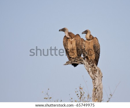 Two vultures in a tree sitting in the sun