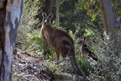 Two wallabies watching silently in the Australian bushland