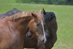 Two warmblood horses playing together. The bay horse is twitching the chestnut playfully.