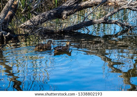 Two waterfowl are encompassed by intriguing reflections of tree branches upon the waters of Patagonia Lake in southern Arizona. Ripples form in the water as they swim near the shoreline.