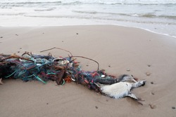 Two waterfowl died, entangled in a fishing net. Sea waves they are washed ashore. The third bird is partially visible on the left.