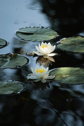 Two waterlilies in a pond