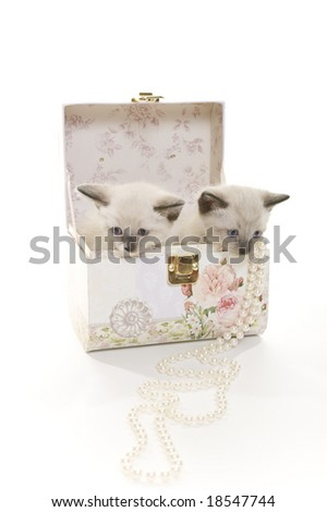 Two 3-week old Snowshoe Lynx-Point Siamese kittens in a jewelery box.