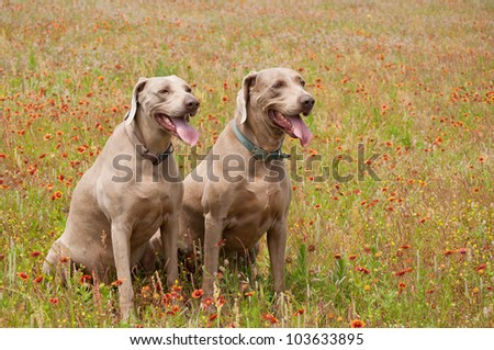 Two Weimaraner dogs in a spring meadow with blooming wild flowers