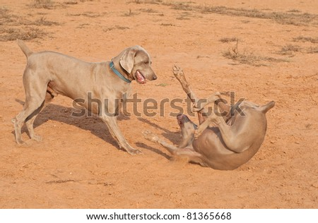 Two Weimaraner dogs playing