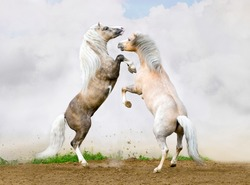 Two Welsh pony stallions battle on the sky background