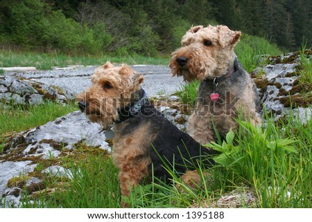 two welsh terrier dogs