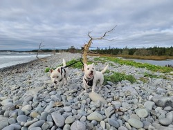 Two west highland terriers standing on a rock wall near the Atlantic ocean. They are tied to a creepy looking tree growing out of the rocks.  It has no leaves and is very pale looking.