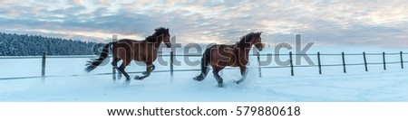 Two Westphalia thoroughbred horses gallop in the snow at sundown #579880618