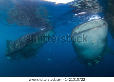 Two Whale Sharks filter feeding on the water surface in clear blue water. These gentle giants are attracted to a fishing platform and photographed scuba diving in Triton Bay, West Papua, Indonesia