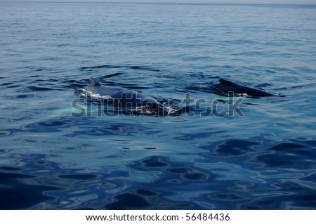 Two whales swim off of Cape Cod, MA