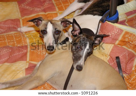 Two whippets resting together