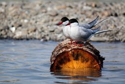Two white arctic tern birds with red beak sitting on a brown log floating in the water