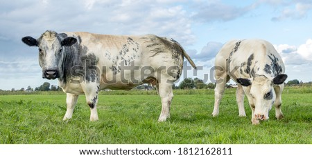 Two white beef cows, meat cattle looking and grazing side by side in a meadow  Foto stock ©