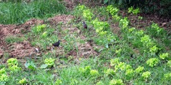 Two White-breasted Waterhens (Amaurornis phoenicurus) on a lettuce bed in the garden, Thailand