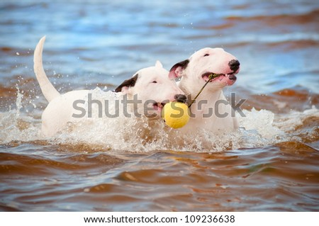 two white bull terrier dogs playing with a ball