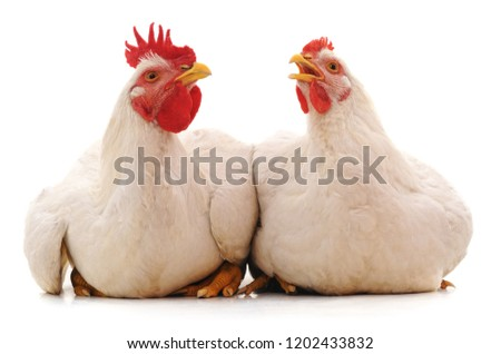 Two white chicken isolated on white background.