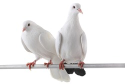 two white  dove isolated on a white background