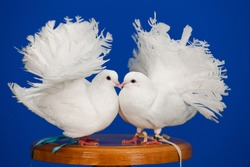 Two white doves sit on the boardwalk on a blue background, a symbol of purity and love, copy space. High quality photo