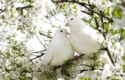 Two white doves with love. Valentine and Sweetest day concept. Couple  of pigeons bird on the tree with background of blossom gardens.Love end familly concept.Couple of lover bird. together concept