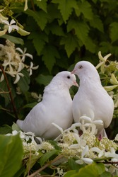 Two white doves with love. Valentine and Sweetest day concept. Couple  of pigeons bird on the tree with background of blossom garden hydrangeas.Love end familly concept.Couple of lover bird.