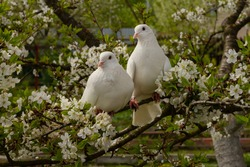 Two white doves with love. Valentine and Sweetest day concept. Couple of pigeons bird on the tree with background of blossom gardens.Love end familly concept.Couple of lover bird. together concept.