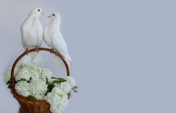 Two white doves with love. Valentine and Sweetest day,kiss day concept. Couple  of pigeons bird sitting on a basket of white flowers.Love end familly concept.Couple of lover birds