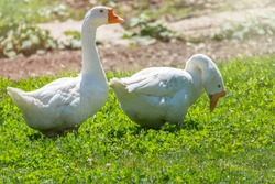 Two white geese eating on the grass a green lawn at sunset. Domestic goose, greylag goose or white goose, Anser cygnoides domesticus.