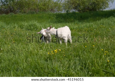 Two white goats grazed on a lawn