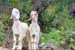 Two white goats standing together over green leaves and  bush in forest