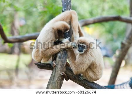 Two  white handed Gibbon or Lar Gibbon
