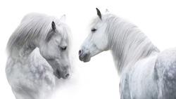 Two White  horse portrait on white background. High key image