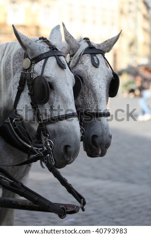 Two white horses team towing a carriage
