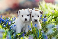 two white Jack Russell Terrier puppies sitting among blue flowers in summer