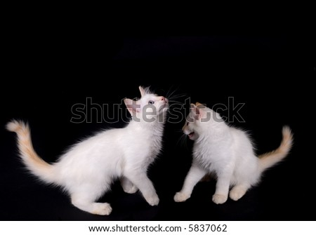 two white kittens fightiing on black