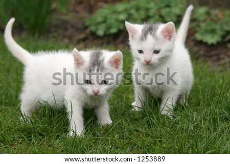 Two white kittens (focus is on the kitten on the left)