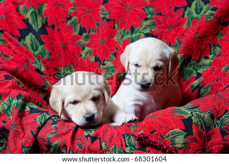 Two white Labrador Retriever puppies.  Four weeks old.  Red Poinsettia Christmas background.